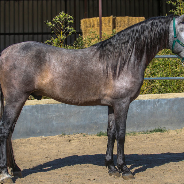 Lorenzo ~ gray stallion.