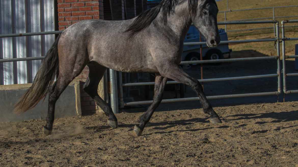 Lomero ARM ~ gray stallion (Mariscal ARM – Baronesa ARM)