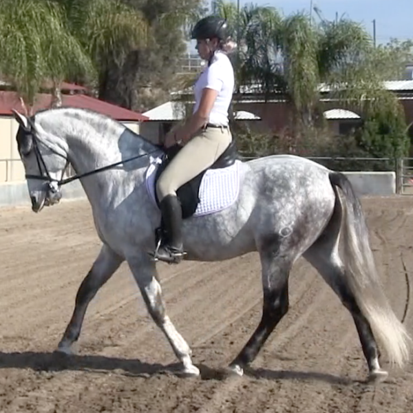 Arizona ARM ~ PRE gray stallion